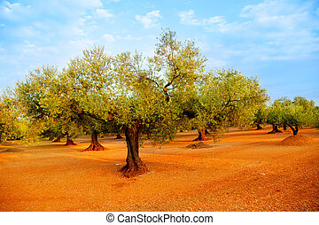 olive tree fields in red soil in Spain - olive tree fields...