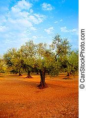 olive tree fields in red soil in Spain - olive tree fields...