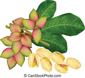 Pistachio twig with fruits. Vector illustration.