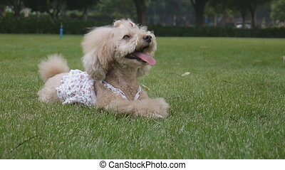 Poodle dog lying on the lawn