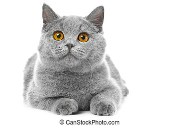 British blue kitten on isolated white - Studio portrait of...