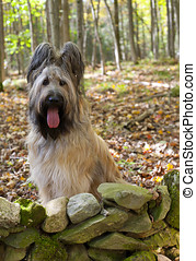 Blonde Briard Dog in Fall Forest - Portrait of a pure bred...