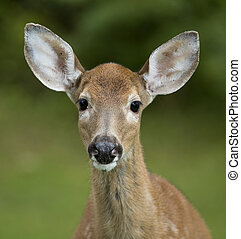 Older fawn - Closeup of a whitetail deer fawn with its spots...