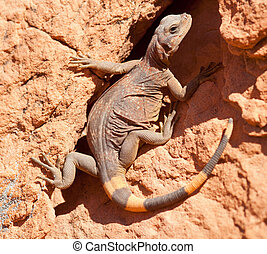 Large chuckwalla lizard on the canyon wall