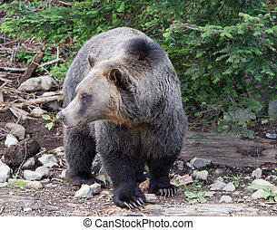 Large Male Grizzly