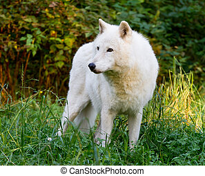 White Wolf - Profile image of a white wolf in the lush green...
