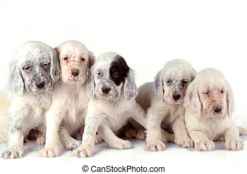 English Setter puppies - Five beautiful English Setter...