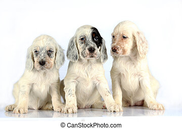 English Setter pups - Three sitting English Setter puppies...