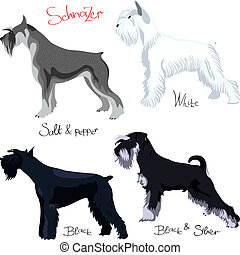 vector set of purebred dogs of different colors Schnauzer -...