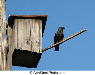 starling-house - a starling near to his nest house