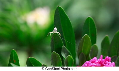 Spider - Crab spider weaves a web on a flower