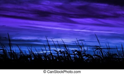 harvest Maize Blue-Violet Loop - A cornfield is silhouetted...