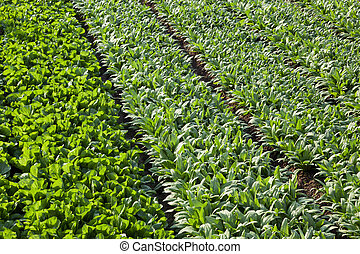 full frame background of asparagus lettuce fields in spring...