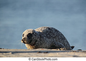 Harbor Seal Phoca vitulina lying on the beach of Heligoland...