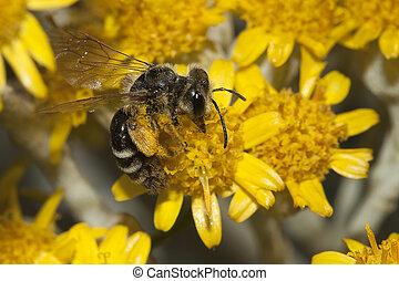 Apis Mellifica - Kingdom:Animalia Phylum: Arthropoda Class:...