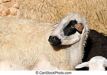 The Face of a Sheep
