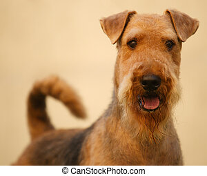 Grown-up airedale terrier set to a point - Grown-up brown...