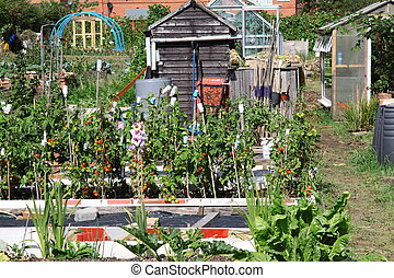 allotment - tomotos growing outdoors on this allotment patch