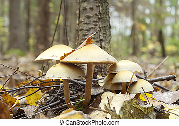 Poisonous toadstool on autumn forest background