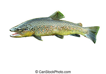Common trout isolated on white background