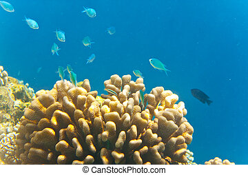 Indian ocean Fishes in corals Maldives