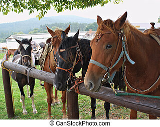 horses in harness - group of horses in harness ready for...