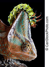 Caterpillar on chameleons head - A Hickory Horned Devil...