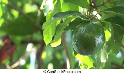 avocado swaying in tree - A large ripe green avocado is...
