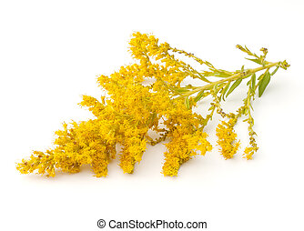 Goldenrod (Solidago) flowers on a white background