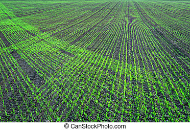 Plowed field with small green plants in regular patterns