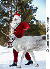 Santa with his reindeer - Santa Claus walking with his...