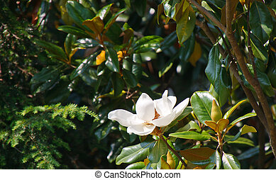 Magnolia Tree with White Blossom - A white magnolia blossom...