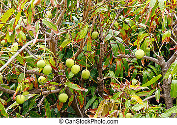 Mangoes on a Tree in a Tropical Garden - Mangoes growing on...