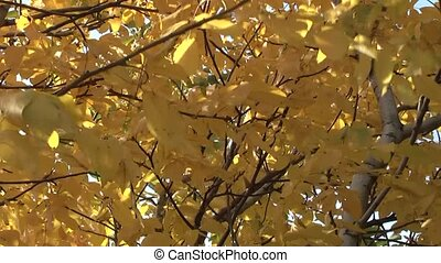 walnut tree in autumn