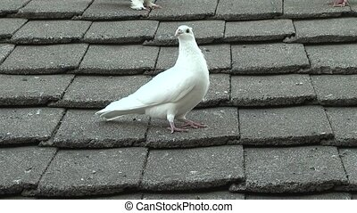 pigeon - white pigeon.
