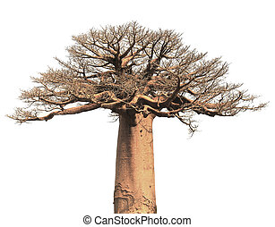 Isolated Baobab - Isolated baobab tree over white background