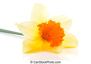 Yellow with orange daffodil flower over white background