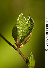 Hornbeam - new, fresh twig carpinus betulus as background