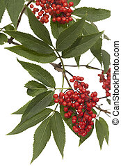 branch lilac with leaf and red fruit