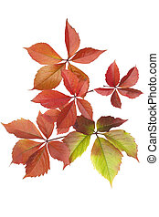 Boston ivy - multicoloured ivyParthenocissus tricuspidataon...