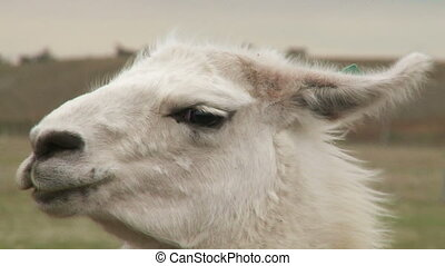 Portrait of alpaca - Chilean alpaca. Wildlife of Patagonia...