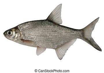Abramis brama Bream - Small bream isolated on a white...