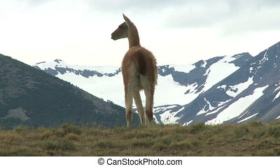 Chilean guanaco   - Chilean guanaco. Wildlife of Andes