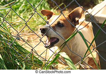 Dog Barking - Barking Jack Russel dog behind chain link...