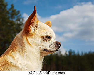 Chihuahua - Portrait of Chihuahua over the blue sky