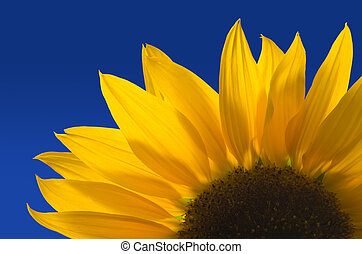 Sunflower against a blue background