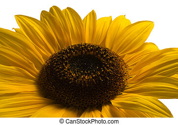 Sunflower against a white background