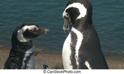 Couple of penguins - Portrait of two black footed penguins...