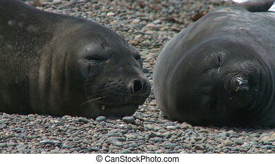 Couple of fur seals - Portrait of two argentinean fur seals...