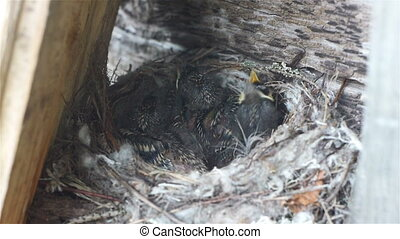 Forest lark bird feeding nestlings in the nest, wildlife close up